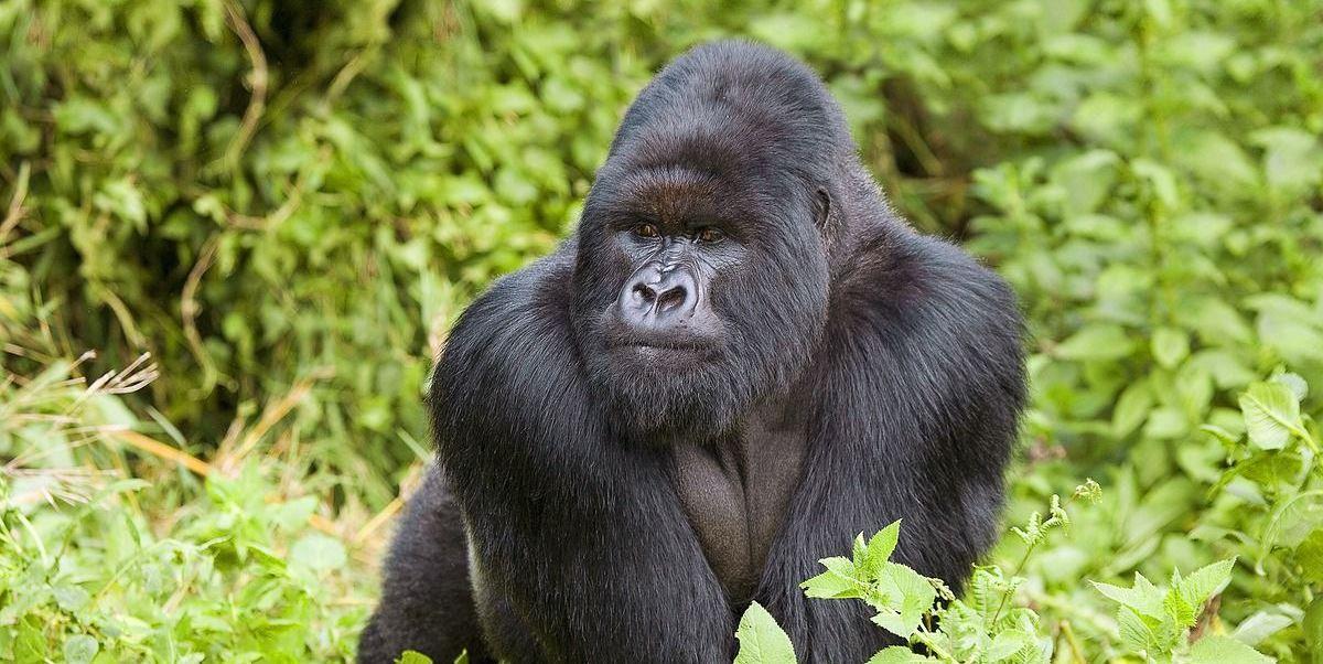 Szympansy i goryle